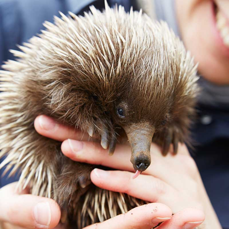 Spiky yet loveable: meet KI's Short-beaked Echidna