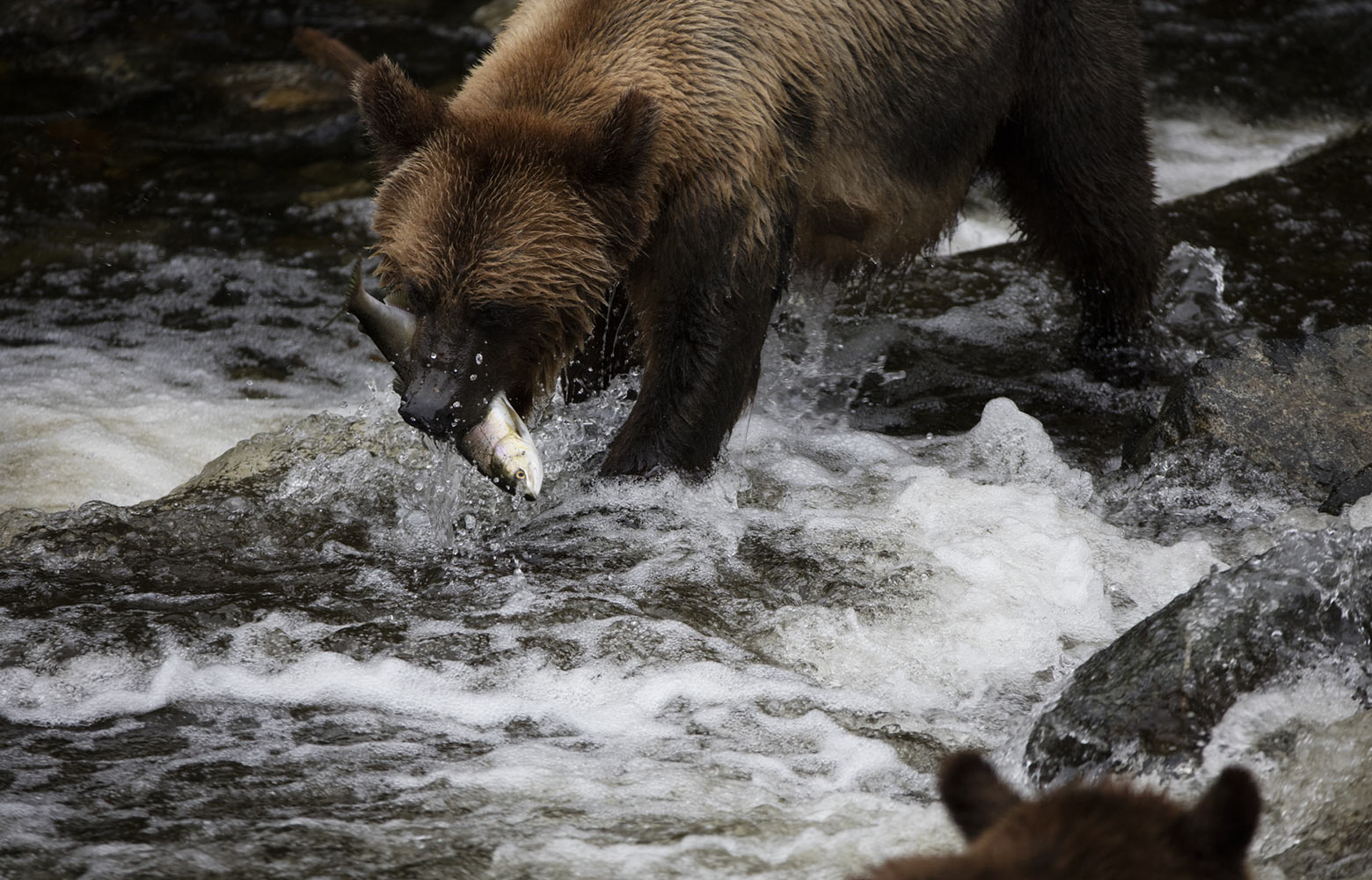 Salmon Secondary bear